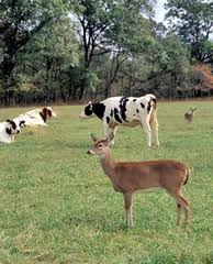 Deer and Cow